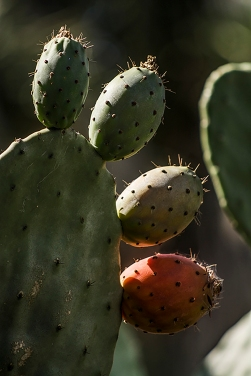 cacti_fruitS
